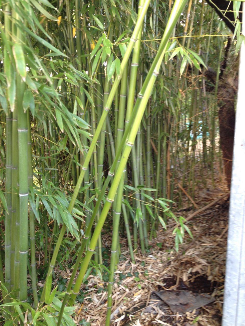 notre foret de bambou