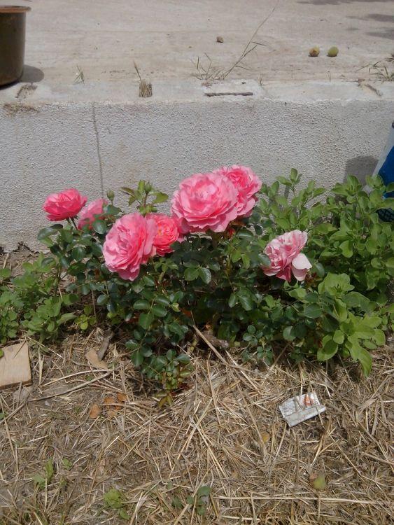 Notre premier cadeau d'amis pour cette nouvelle maison: un rosier Pierre de Ronsard
