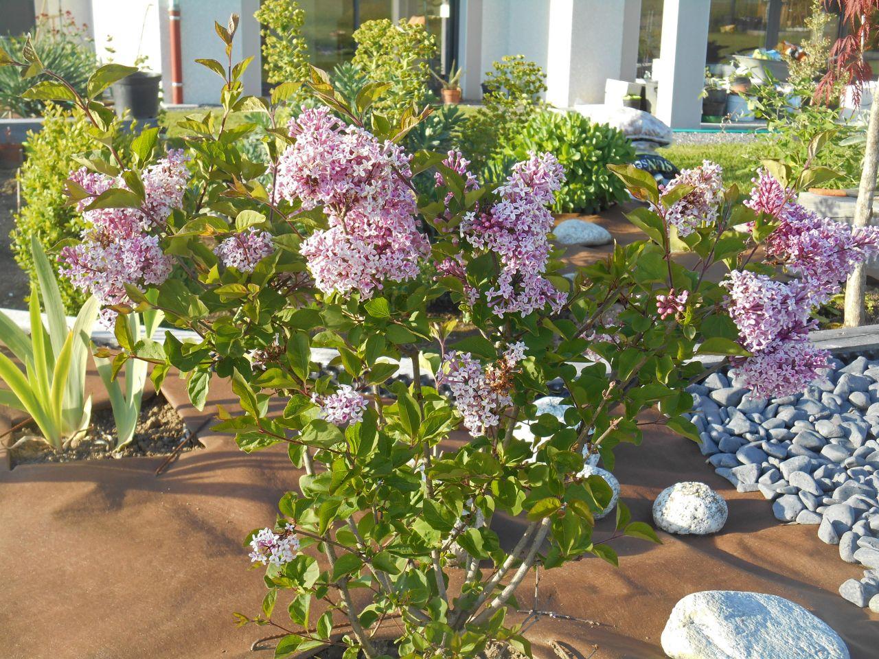 La r cup ration tombe l 39 eau lis l sous le lilas - Au jardin de mon pere les lilas sont fleuris ...