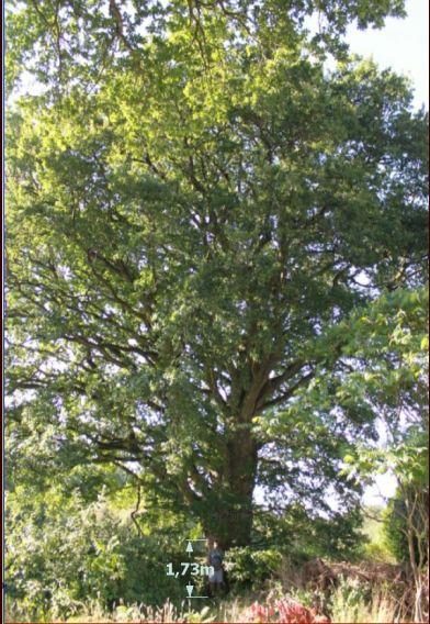 il s'agit de notre chêne tricentenaire