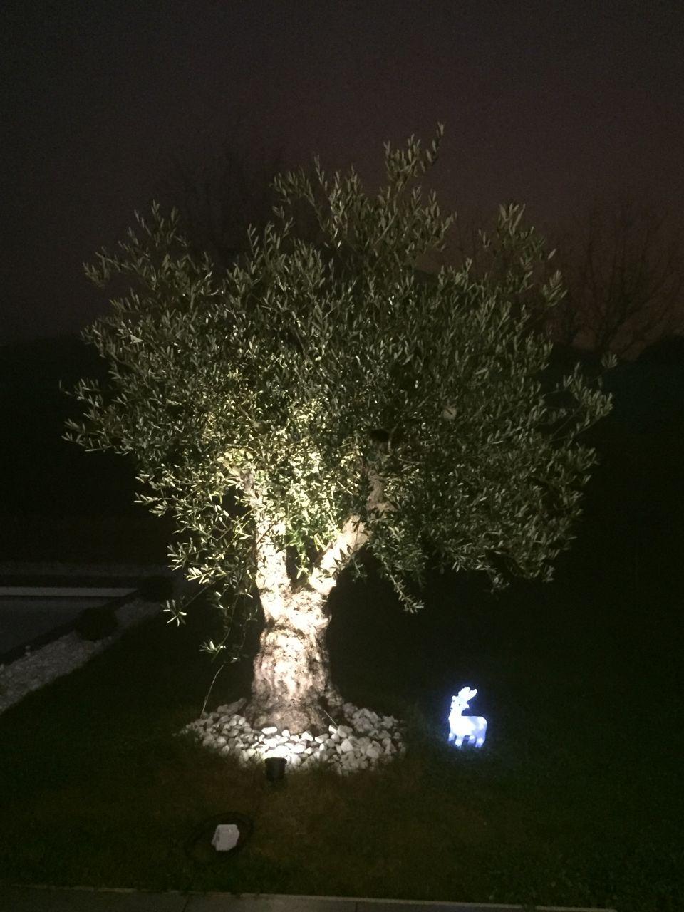 Eclairage de l'olivier