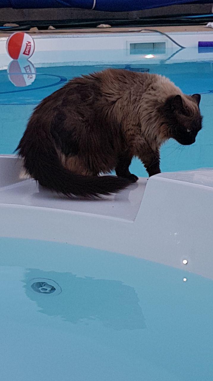 le chat examine la nouvelle piscine, le spa est heureusement éteint.