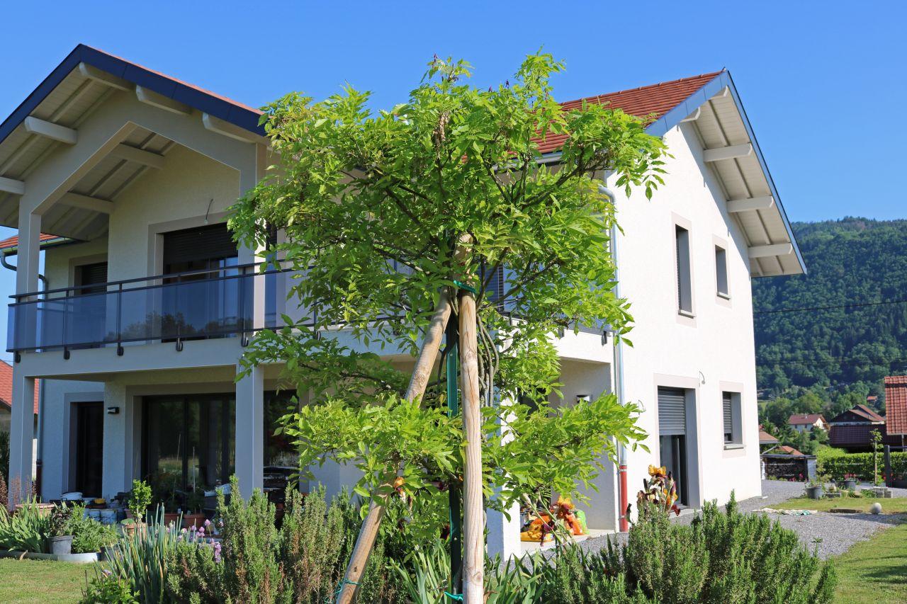 Glycine en arbre ayant gelé fin avril et repris vie