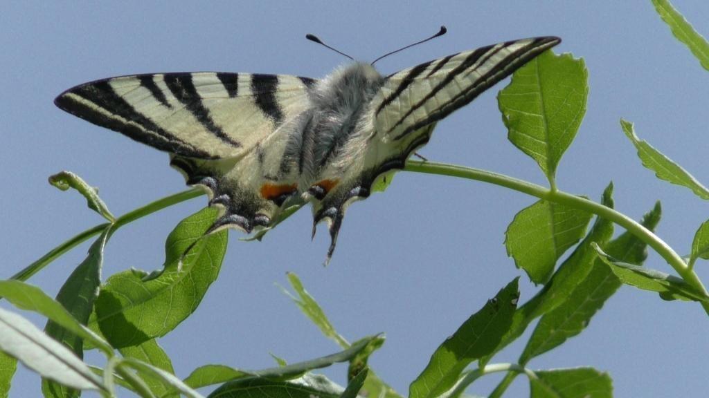 Un papillon magnifique, le Flambé.