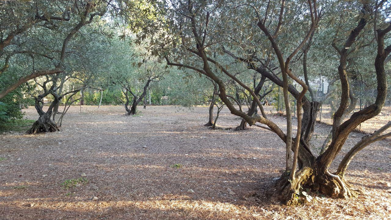 De nombreux oliviers