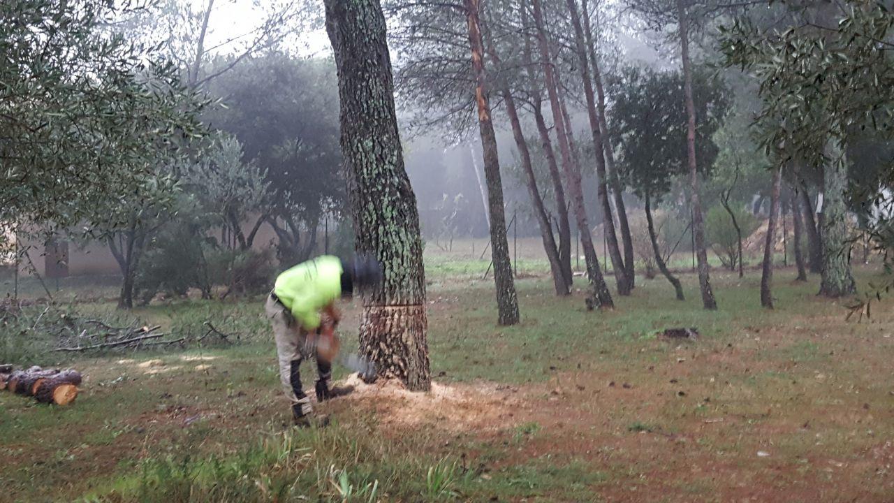 Abattage de 2 gros pins