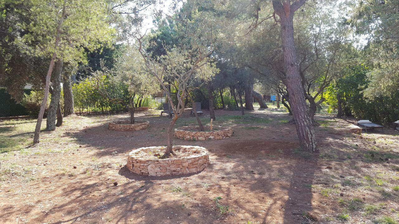 Murets autour des oliviers transplantés