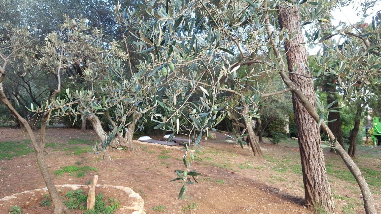 Transplantation d'olivier réussie