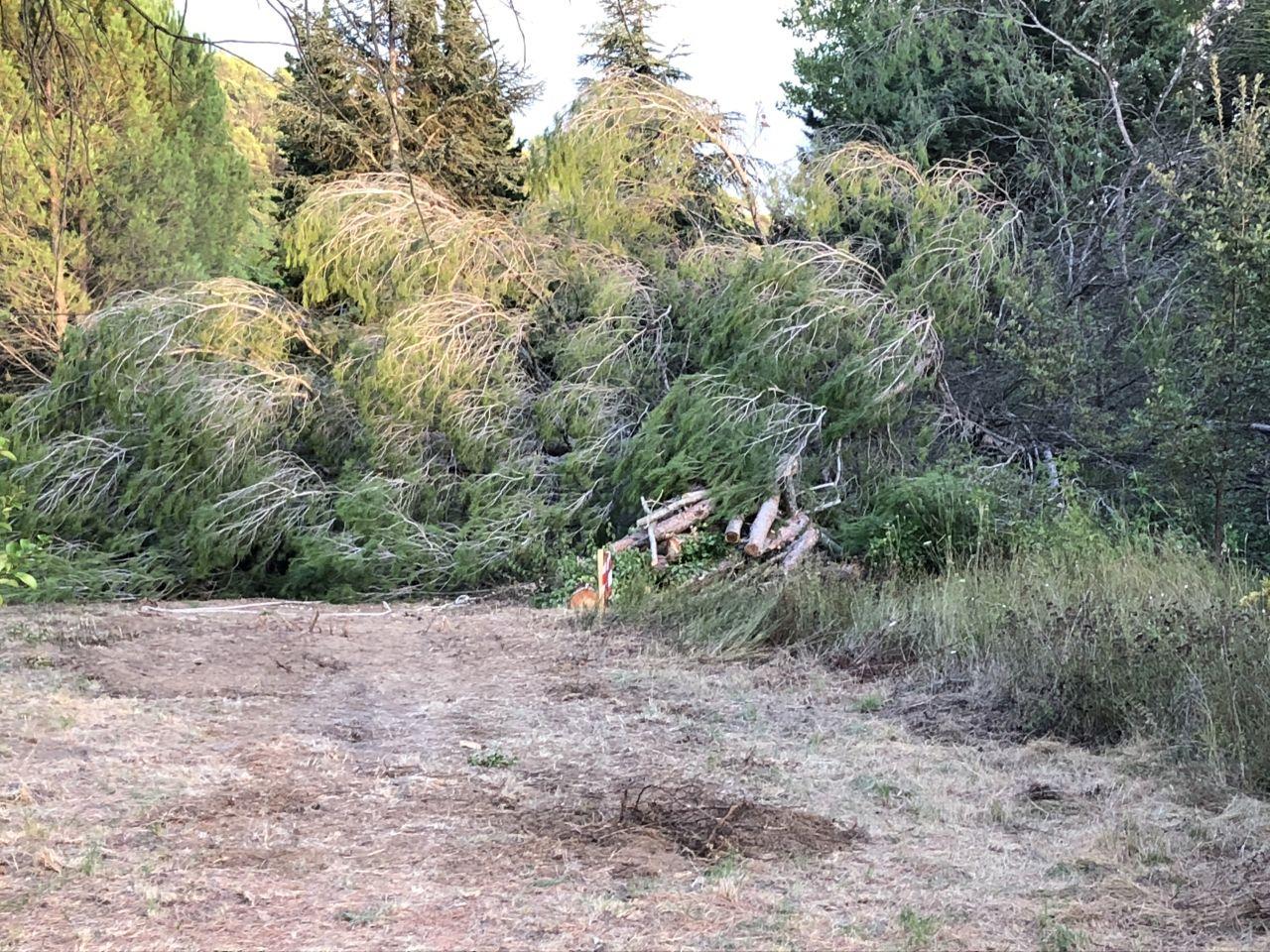 16 mètres de hauteur pour ce pin, mais nous n'avions pas le choix que de l'abattre