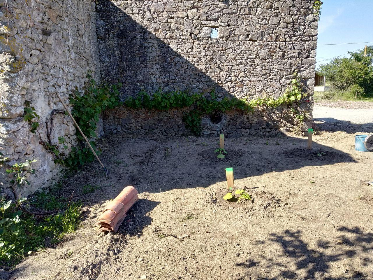 comme la moitié du terrain avait été nettoyé , on en a profité pur faire pousser un petit jardin au programme potimarron butternut melon et fraise , on a un autre potager chez nous ici on profite de la place pour les courges