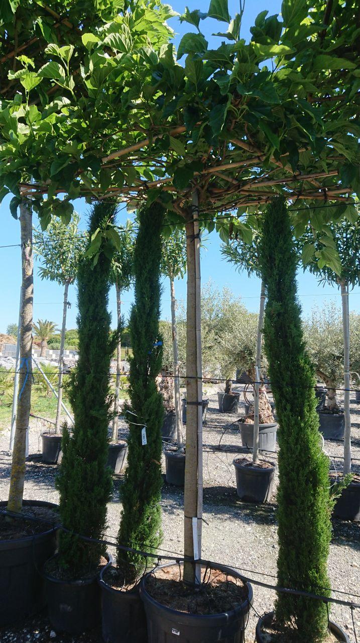 Plante conseillée par le paysagiste - murier parasol fruitless