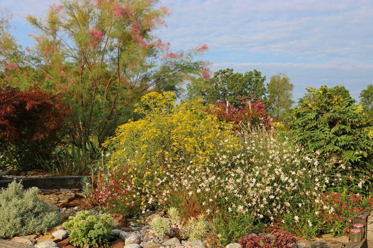 Une partie du grand massif où des mauvaises herbes jaunes se sont semées naturellement (Jacobées ou Herbes de Saint Jacques)