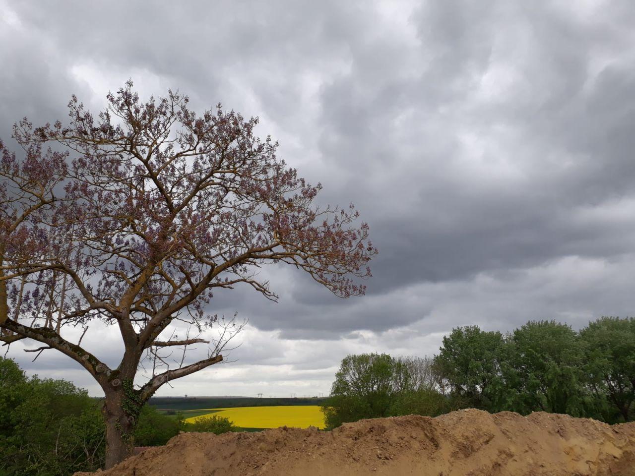Le Paulownia commence à fleurir