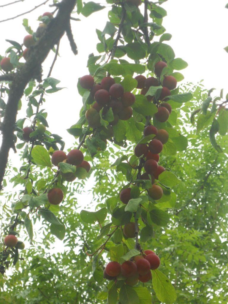 rien a voir, Belle découverte sur le terrain; nos prunes, un délice.