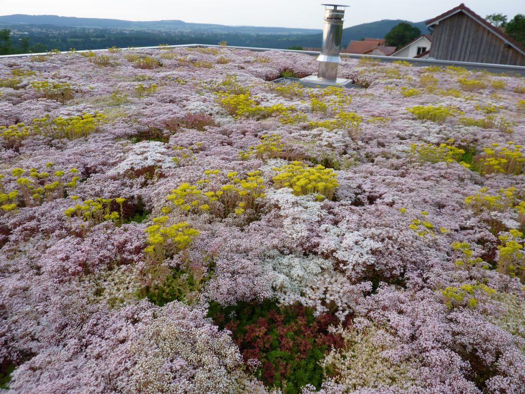 Le toit végétalisé : liner sur volige bois, puis pouzoulan sur 10cm, puis sedum planté  <br /> La première année : un tapis de fleur ou les abeilles viennent s'en donner à coeur joie