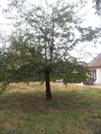 Abattage du cerisier pour roder la tronçonneuse !