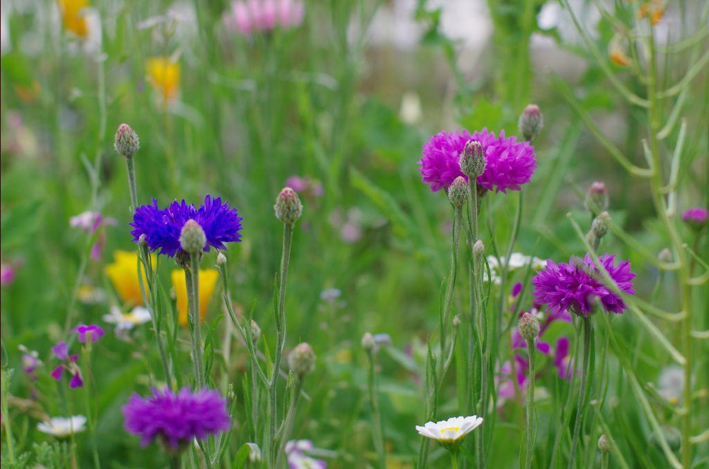 Des fleurs de partout cote d 39 or - Fleur de jachere ...
