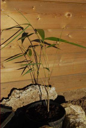 Bambou changement comportement en int rieur 12 for Bambou en interieur