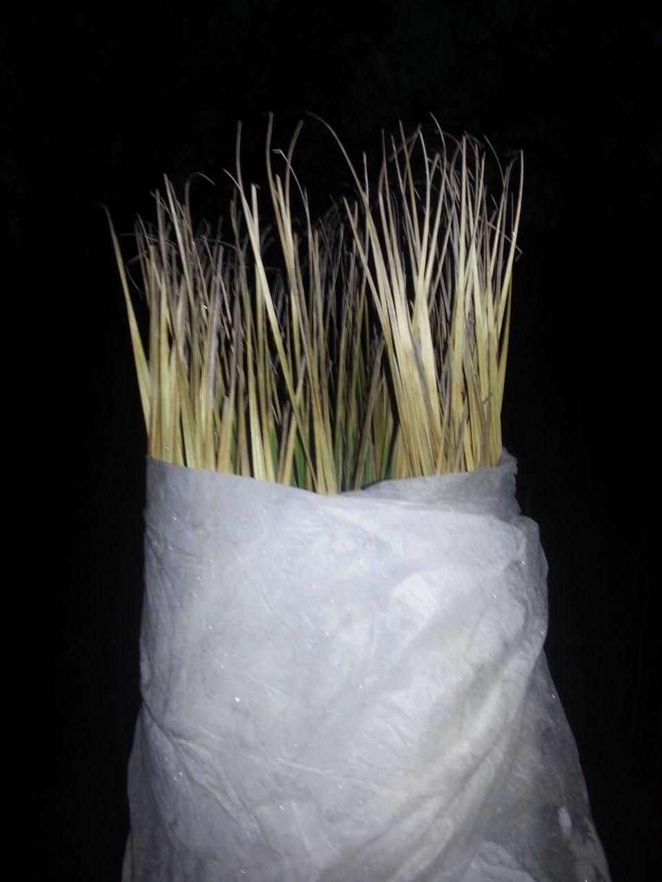 comment planter un palmier en pleine terre la palmeraie fr