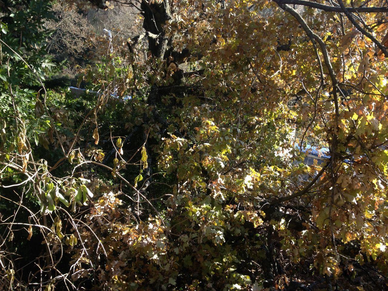 Arbre du voisin étant tombé sur notre terrain. Les branches tenant encore à ce dernier.