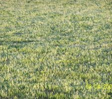 qazon semence achete en grande surface