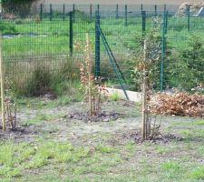 Trois chênes verts plutôt mal en point (voir article sur le sujet)
