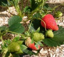 Les fraises poussent