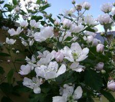 Le murier en fleur