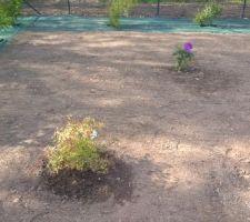 Agrandissement du terrain en mai 2015 : Nous avons planté un rhododendron, un millepertuis, deux érables japonais en haut du terrain