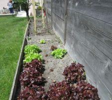 Nous avons bien attaqué le stock des 24 plants de salades feuille de chêne ;-)