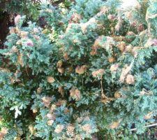 Fleurs fanées d'albizia