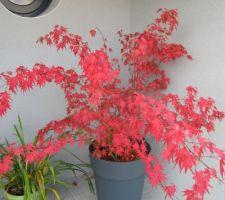 erable aux couleurs d automne