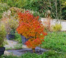 notre erable en automne
