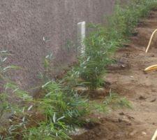 bambous fargesia robusta campbell non tracants car le long du muret