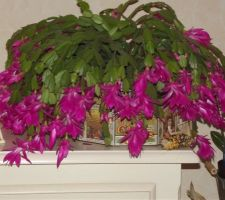 explosion de fleurs sur notre cactus de noel schlumbergera