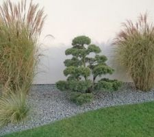 Nouveau pin bonsaï