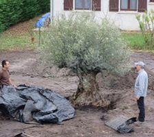 l arrivee de l olivier voila c est fait maintenant arrosage