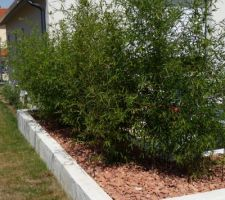 jolie pousse des bambous cette annee pas besoin de s en occuper ils sont en jardiniere