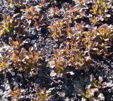 Salades feuilles de chênes rouges