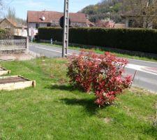 Photinias avec ses nouvelles feuilles (rouges) et à coté les carrés potager à la française (9 emplacements par planche de culture)