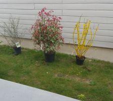 Viburnum roseum, Cotoneaster, Photinia Forsythia Weigelia bristol ruby