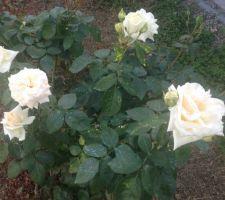 Les rosiers s'acclimatent et sont déjà jolis