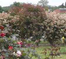 Mes photinias plantés en décembre 2012 d'environ 40cm de haut, les voilà 3 ans après, plus de 2 mètres.