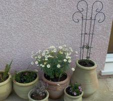 quelques plantes en pot pour patienter des iris des marguerites un lantana du thym une passiflore et des petites fleurs annuelles
