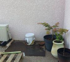 quelques plantes en pot pour patienter un erable un camelia et mon purin d orties qui macere