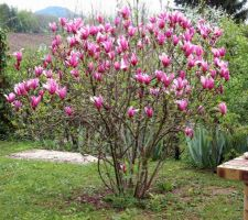 magnolia obovata purpura
