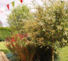 Saule crevette, gaura, olivier, herbe aux écouvillons 'Hameln', santoline grise
