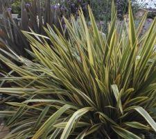 phormium tenax variegatum et atropurpureum
