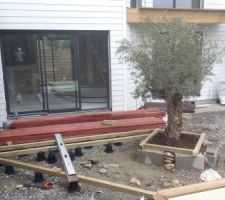 demarrage de la terrasse avec l olivier installe