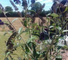 Buddleia, arbre à Papillons